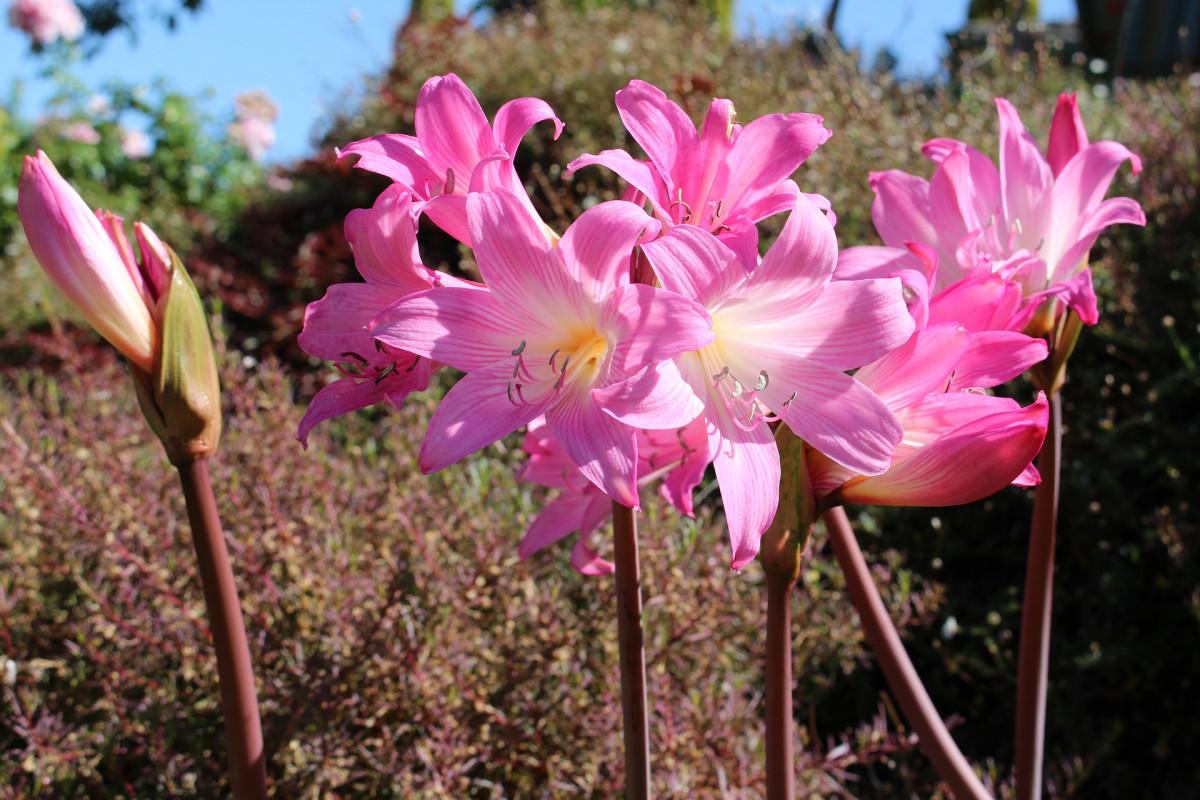amaryllis-floraison