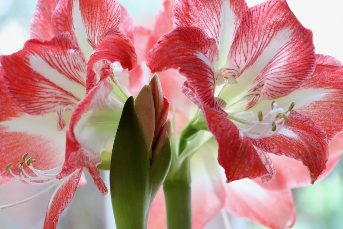 amaryllis-jacques-fleurs