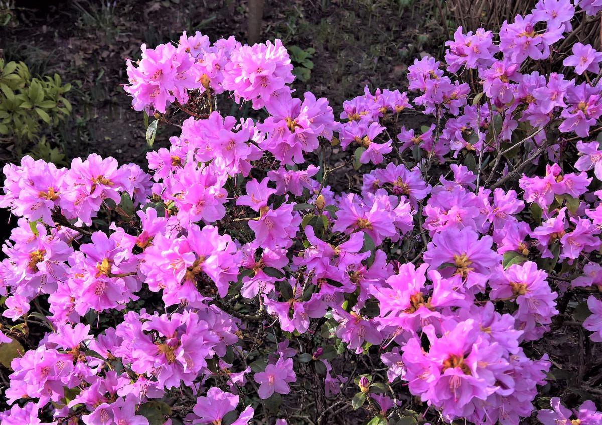 azalee-fleuriste-st-julien