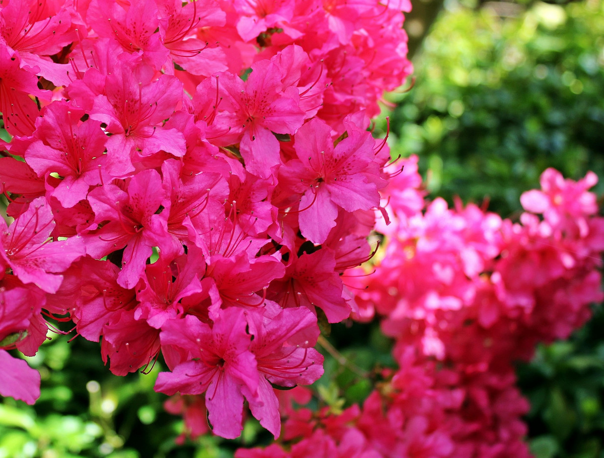 azalee-fleuriste