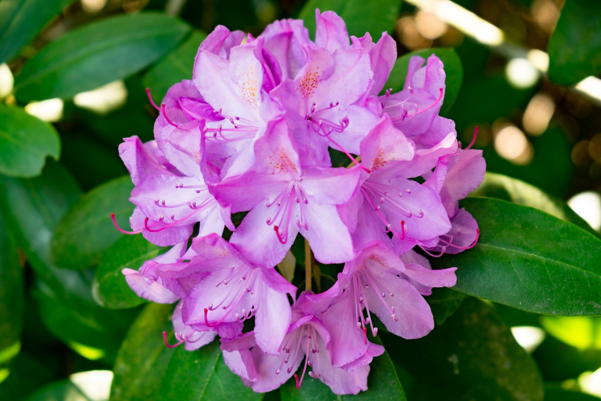azalees-fleuriste