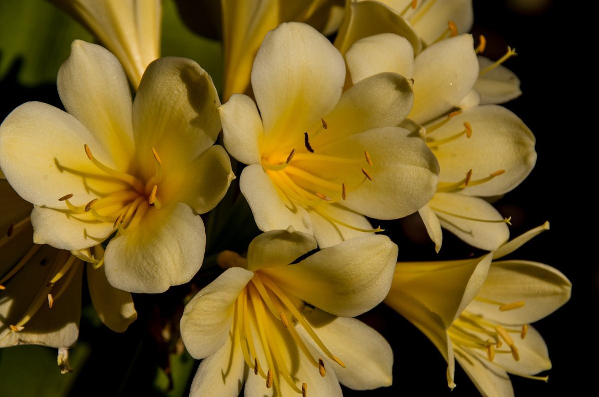 clivia-fleuriste