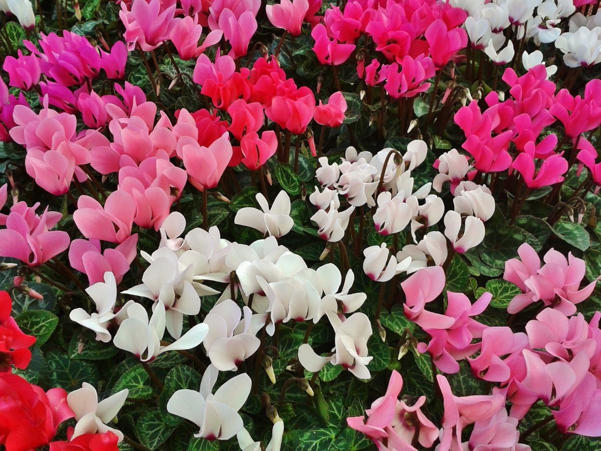cyclamen-jacques-fleurs