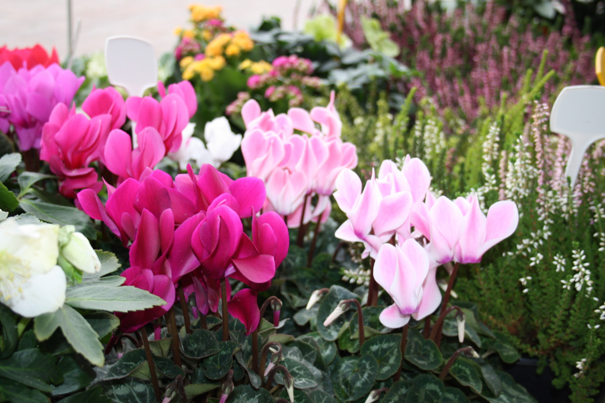 cyclamens-jacques-fleurs-lombard