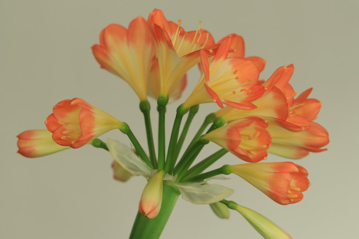 fleuriste-clivia