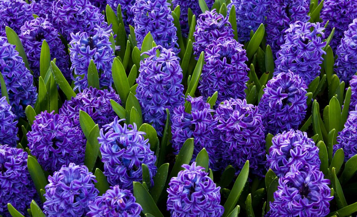 jacinthe-jacques-fleurs-lombard