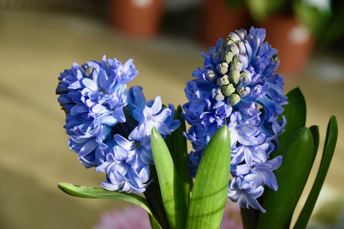 jacinthes-fleuriste