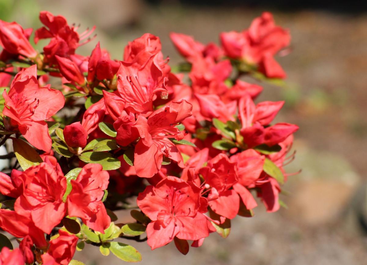 jacques-fleurs-azalee