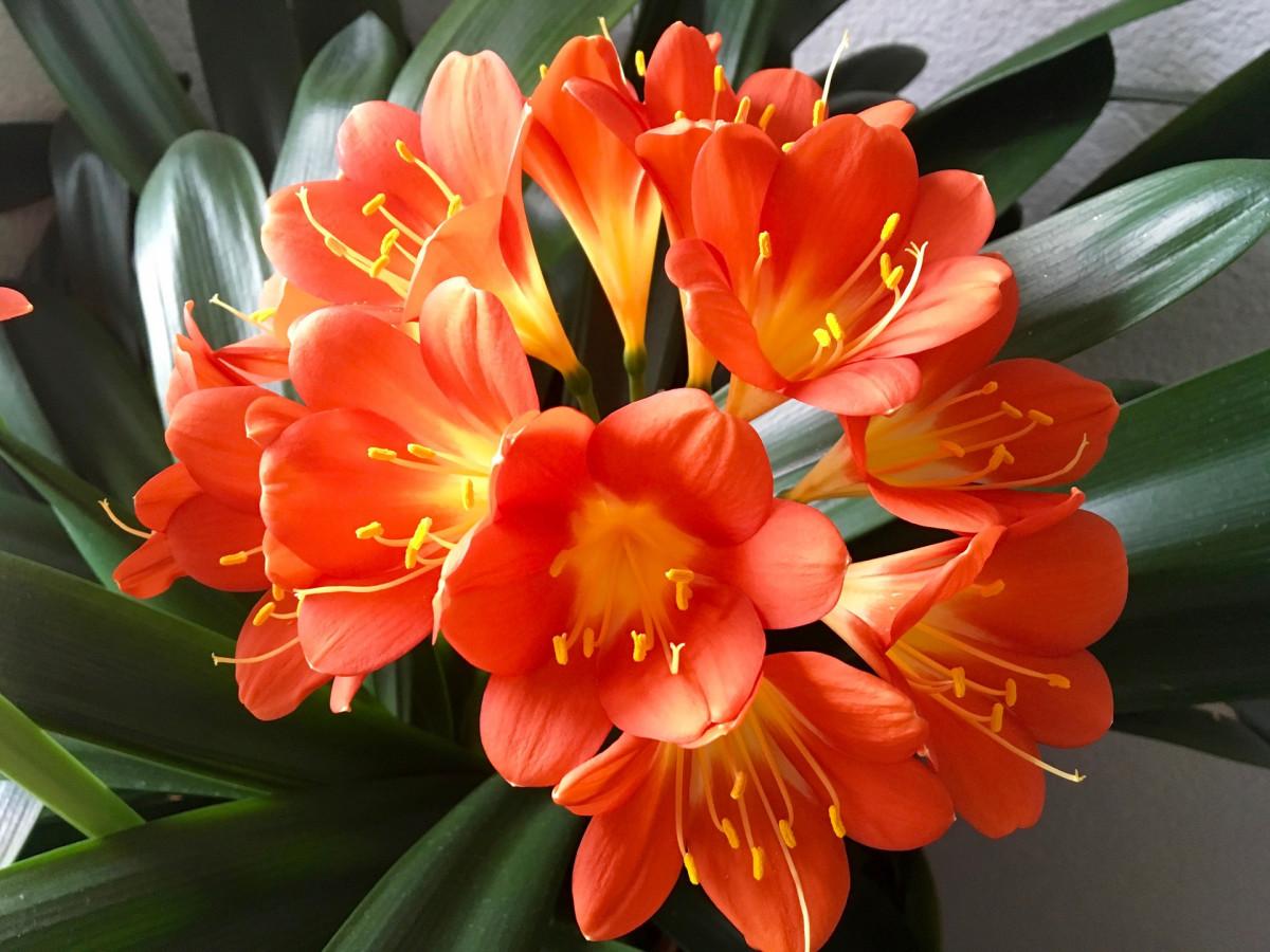 jacques-fleurs-clivia