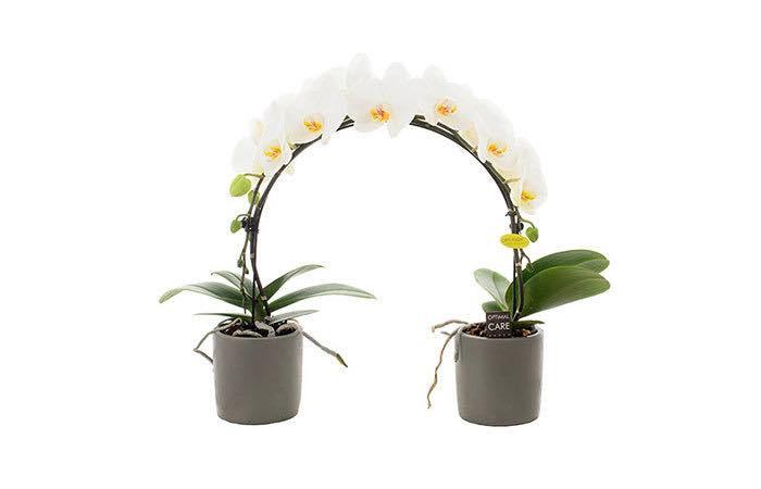 orchidee-ponto