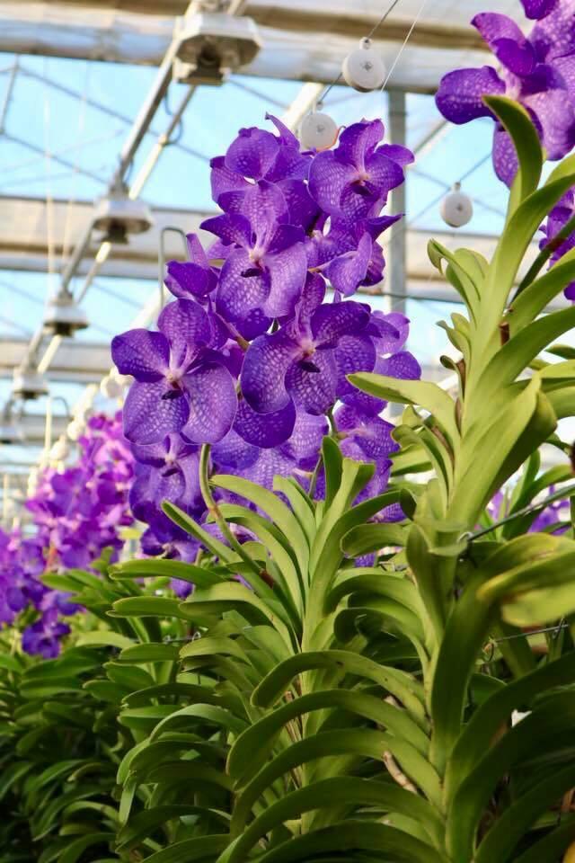 orchidee-vanda-jacques-fleurs