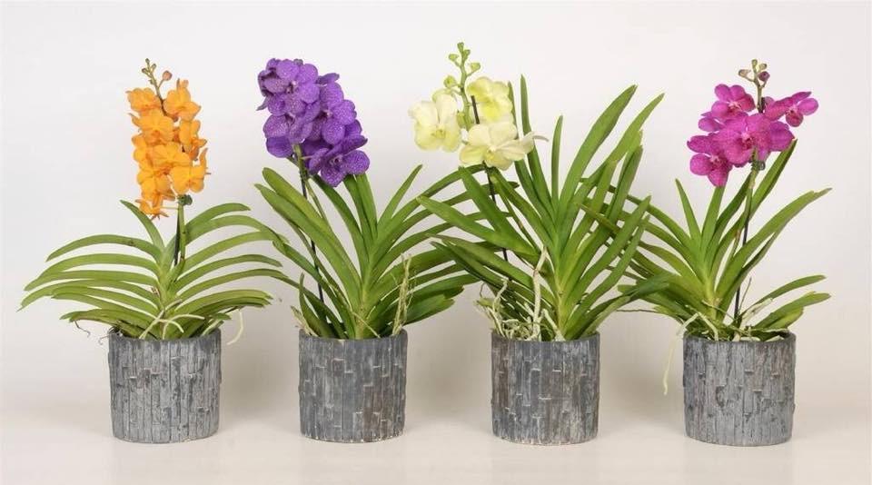 orchidee-vanda